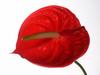Anthurie (Anthurium,Flamingoblume)
